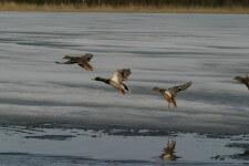 Охота на водоплавающую дичь: правила и особенности процесса