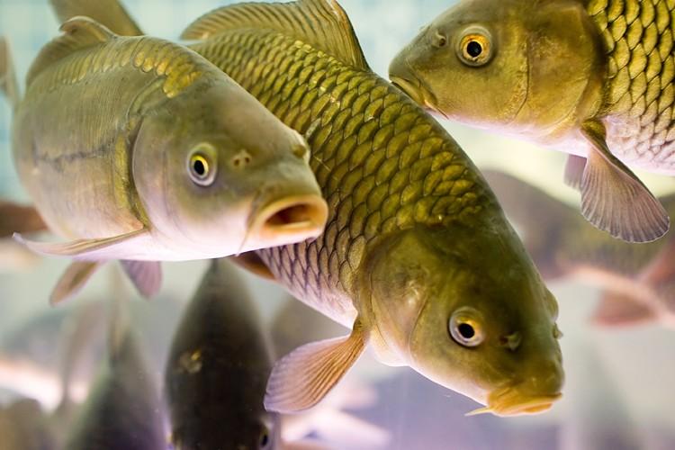 Разнообразие карповых рыб